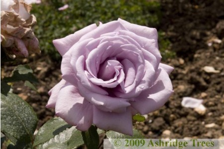 Twice in a Blue Moon Hybrid Tea Rose