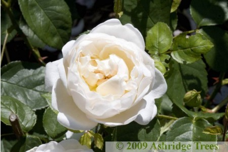 Glamis Castle Rose