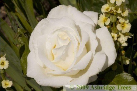 Ice Cream Hybrid Tea Rose