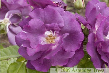 Rhapsody In Blue Shrub Rose
