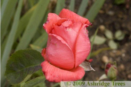Super Star Hybrid Tea Rose