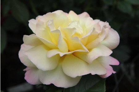 Peace Hybrid Tea Rose flower