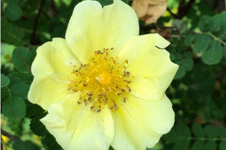 Canary Bird Rose