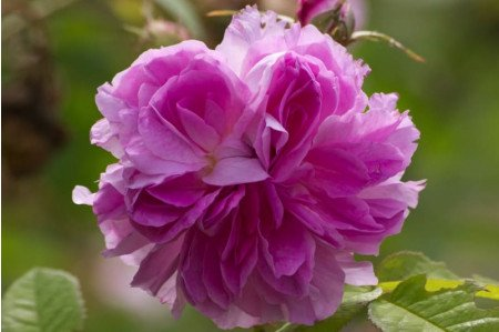 Gloire de France Rose Flower