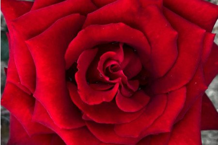 Ingrid Bergman Rose - Close-up