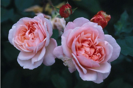 Irene Watts roses in July