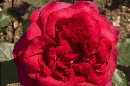 Velvet Fragrance Rose
