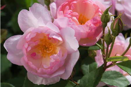 Scarborough Fair® (Ausoran) Rose