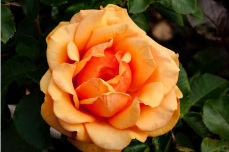 Simply The Best Rose
