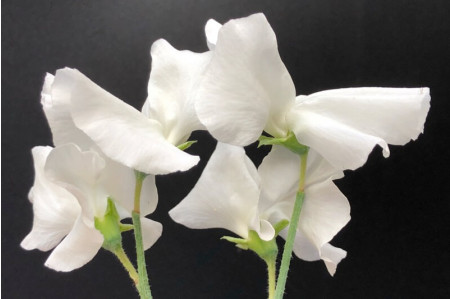 White Supreme Sweetpea flowers