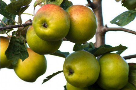 Sweet Alford Cider Apples