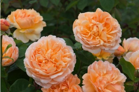 The Lady Gardener® (Ausbrass) Rose