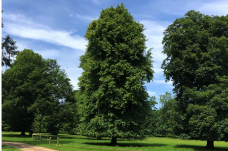 Tilia cordata Trees - Small Leaved Lime