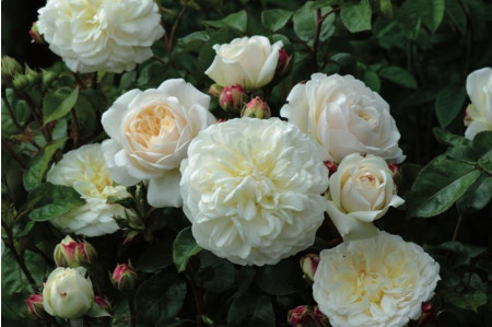 Tranquillity Roses from David Austin