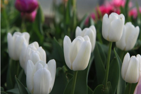 White Dream Tulip Flowers