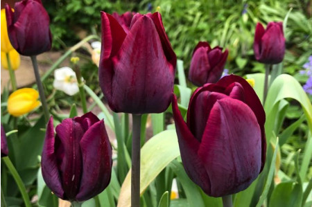 Blackjack Tulip flowers