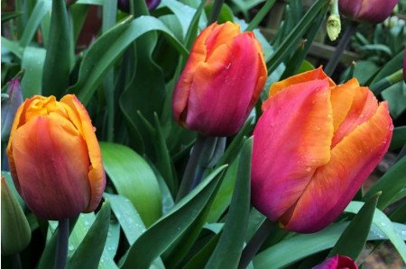 Orange Brilliant Tulip flowers
