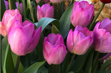 Pink Impression Tulip flowers