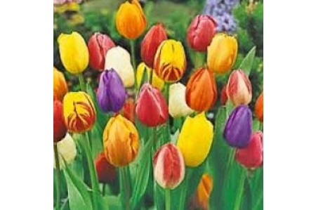Tulip - Mixed Single Early Flowering Tulip Bulbs