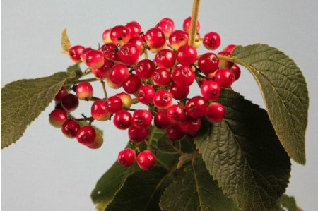 Wayfaring Tree berries