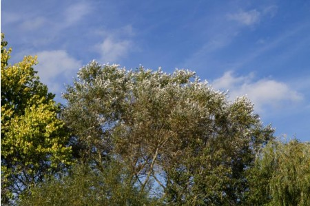 White poplar trees in Summer