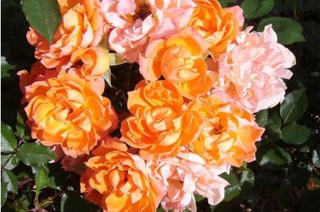 Wildfire Patio Shrub Roses