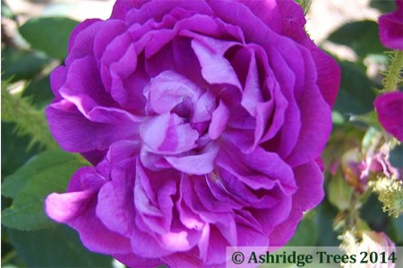 William Lobb - Old Shrub Rose