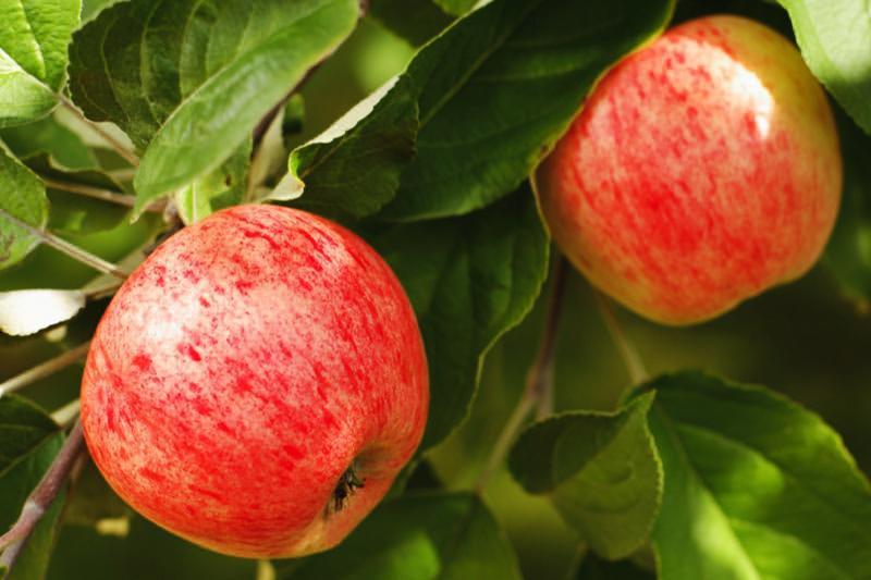 Somerset Redstreak Cider Apple Trees for Sale | Ashridge Nurseries
