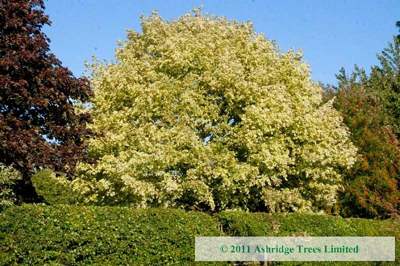 Acer Platanoides Drummondii For Sale Ashridge Trees