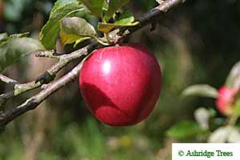 Rose Apple Tree And Fruit