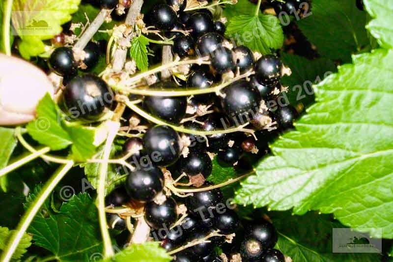 Images Of Blackcurrant Bushes