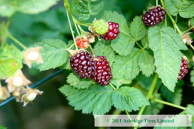 Buy Boysenberry Plants Rubus Boysenberry Bushes For Sale