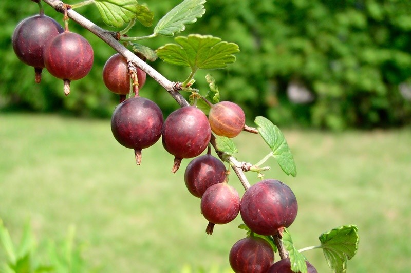 Buy Captivator Gooseberry Bushes