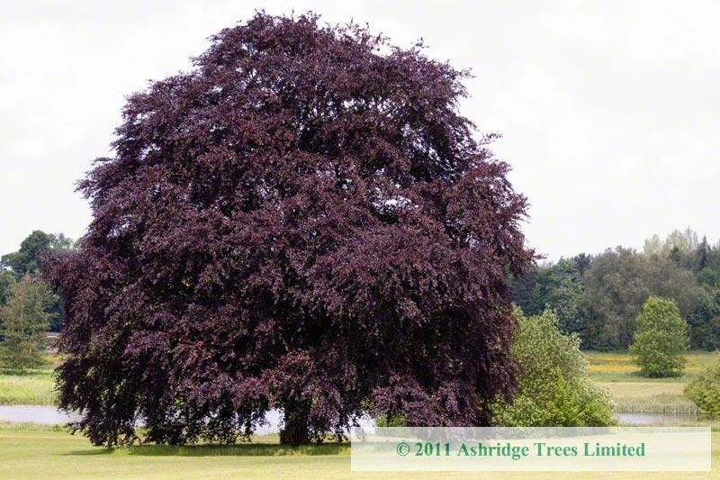 buy copper beech trees purple beech for sale large. Black Bedroom Furniture Sets. Home Design Ideas