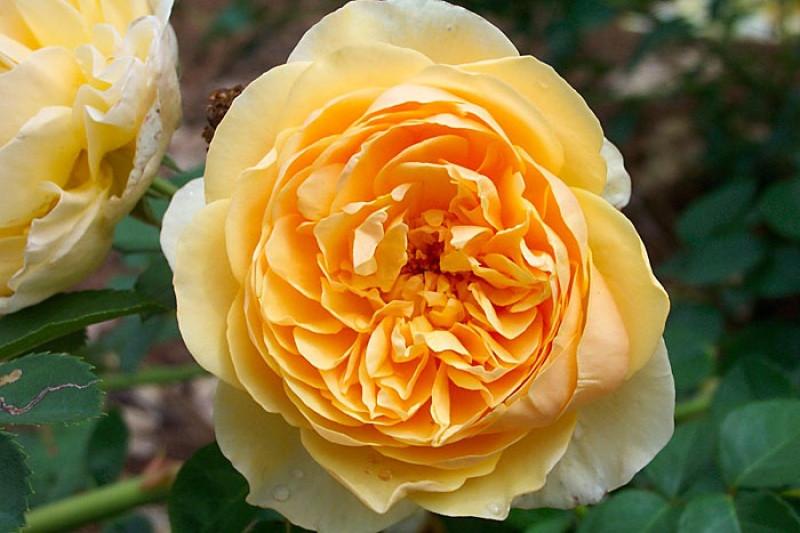 golden celebration roses ausgold ashridge nurseries. Black Bedroom Furniture Sets. Home Design Ideas