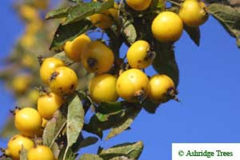 Is Crabapple Tree Fruit Edible