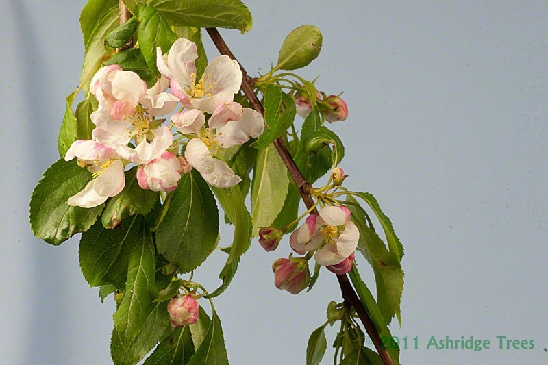 Flowering Crabapple Fruit