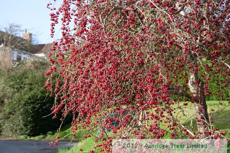 malus robusta red sentinel crabapple trees ashridge nurseries. Black Bedroom Furniture Sets. Home Design Ideas