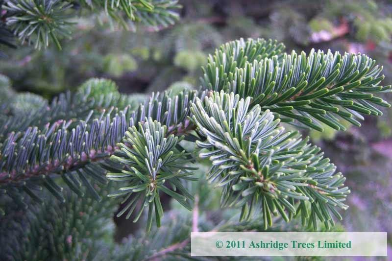 Buy abies nordmanniana online ashridge trees for Non christmas tree