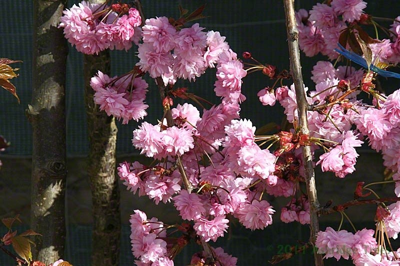 Weeping cherry trees for sale japanese cherry ashridge for Cherry trees for sale