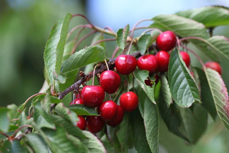 Stella Cherry Trees For Sale Ashridge Trees