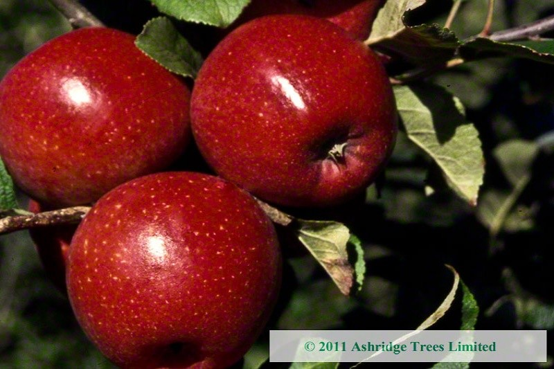 Red Windsor Apple Trees - Buy Online | Ashridge Nurseries