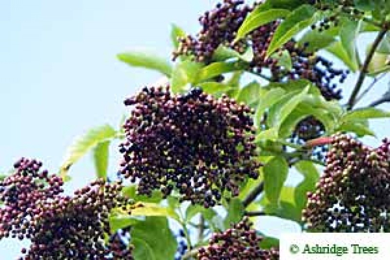 Common Elderberry Hedging Ashridge Nurseries