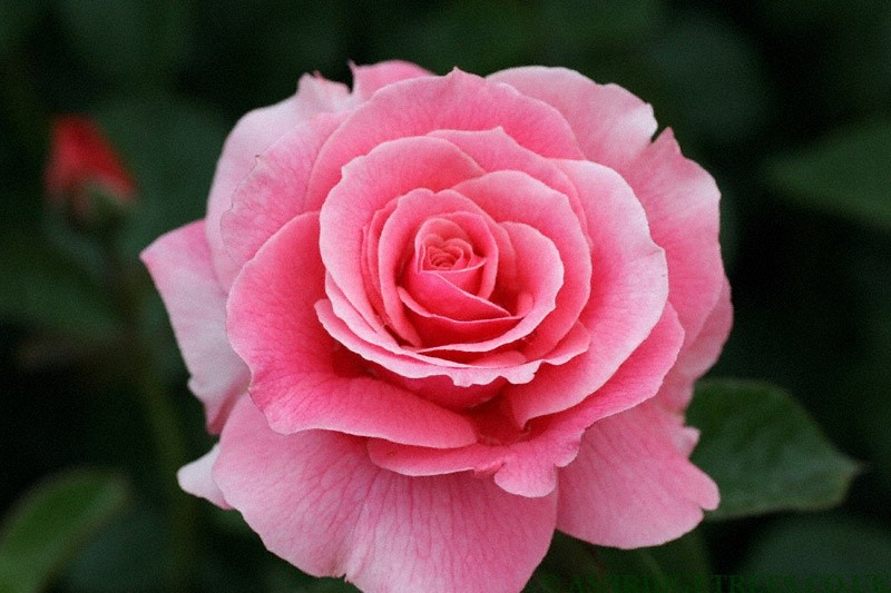 Tickled Pink Floribunda Roses | Ashridge Nurseries