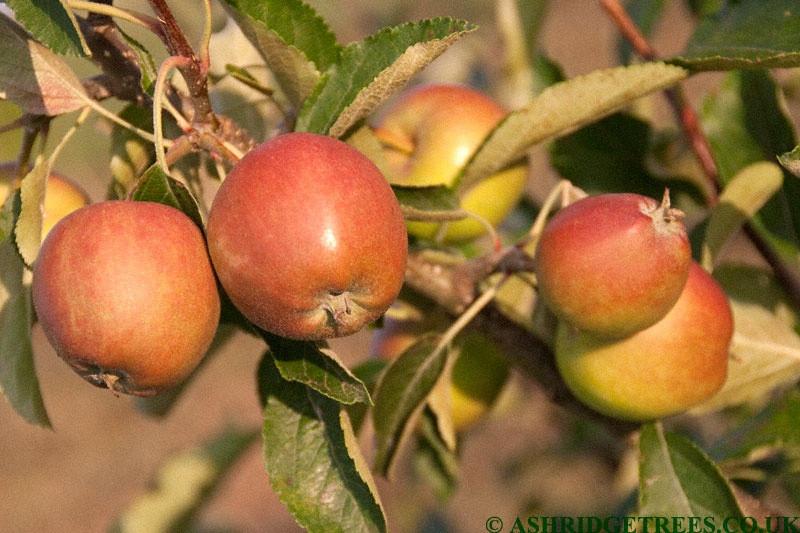 Winter Gem Apple Trees From Ashridge Nurseries