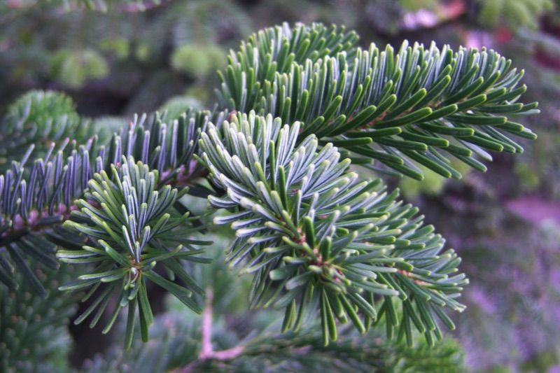 Nordmann Fir Seedlings - Order Online