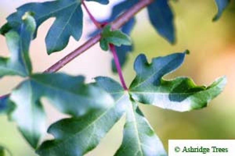 Field Maple Whips Order Online Ashridge Nurseries