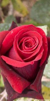 Alec S Red Hybrid Tea Roses For Sale Online Ashridge