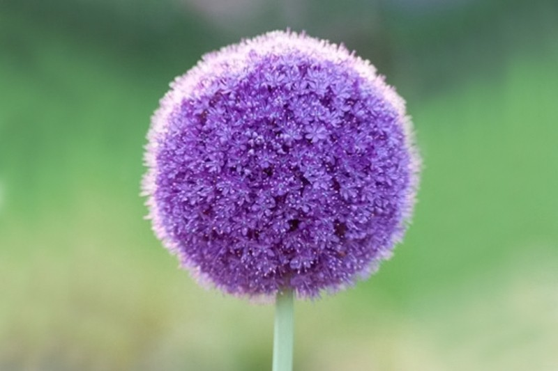 purple sensation allium bulbs from ashridge nurseries. Black Bedroom Furniture Sets. Home Design Ideas