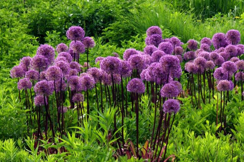 allium giganteum bulbs for sale buy online ashridge nurseries. Black Bedroom Furniture Sets. Home Design Ideas
